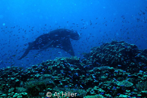 Giant manta ray hovering like a spacecraft over hard cora... by Aj Hiller